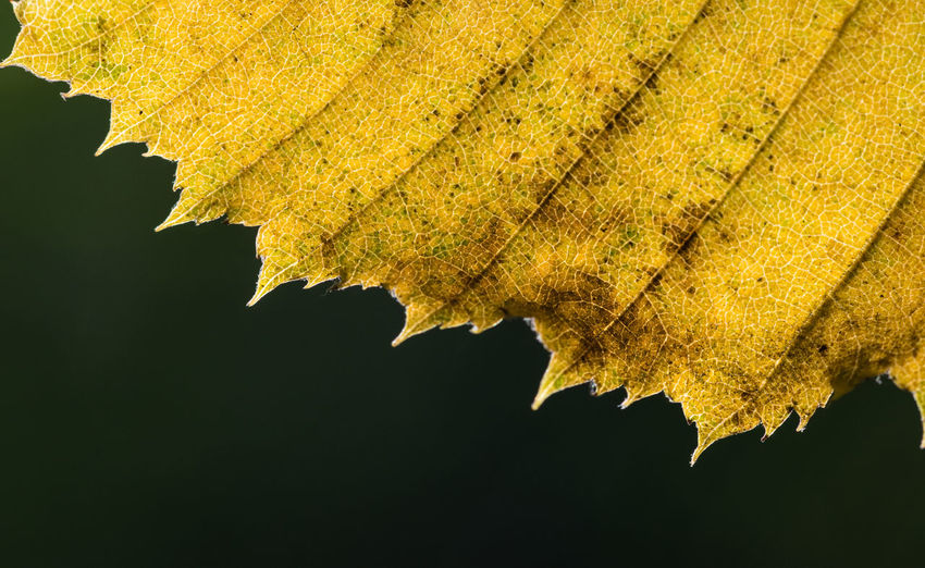 Close-up of yellow leaf on tree during autumn