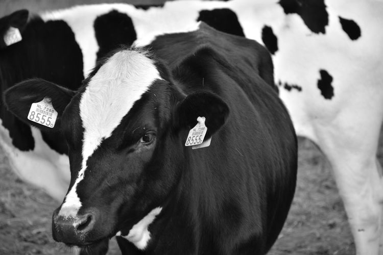 Animal Animal Body Part Animal Head  Animal Themes Cattle Close-up Cow Day Domestic Domestic Animals Domestic Cattle Focus On Foreground Herbivorous Livestock Livestock Tag Mammal No People Number One Animal Pets Vertebrate