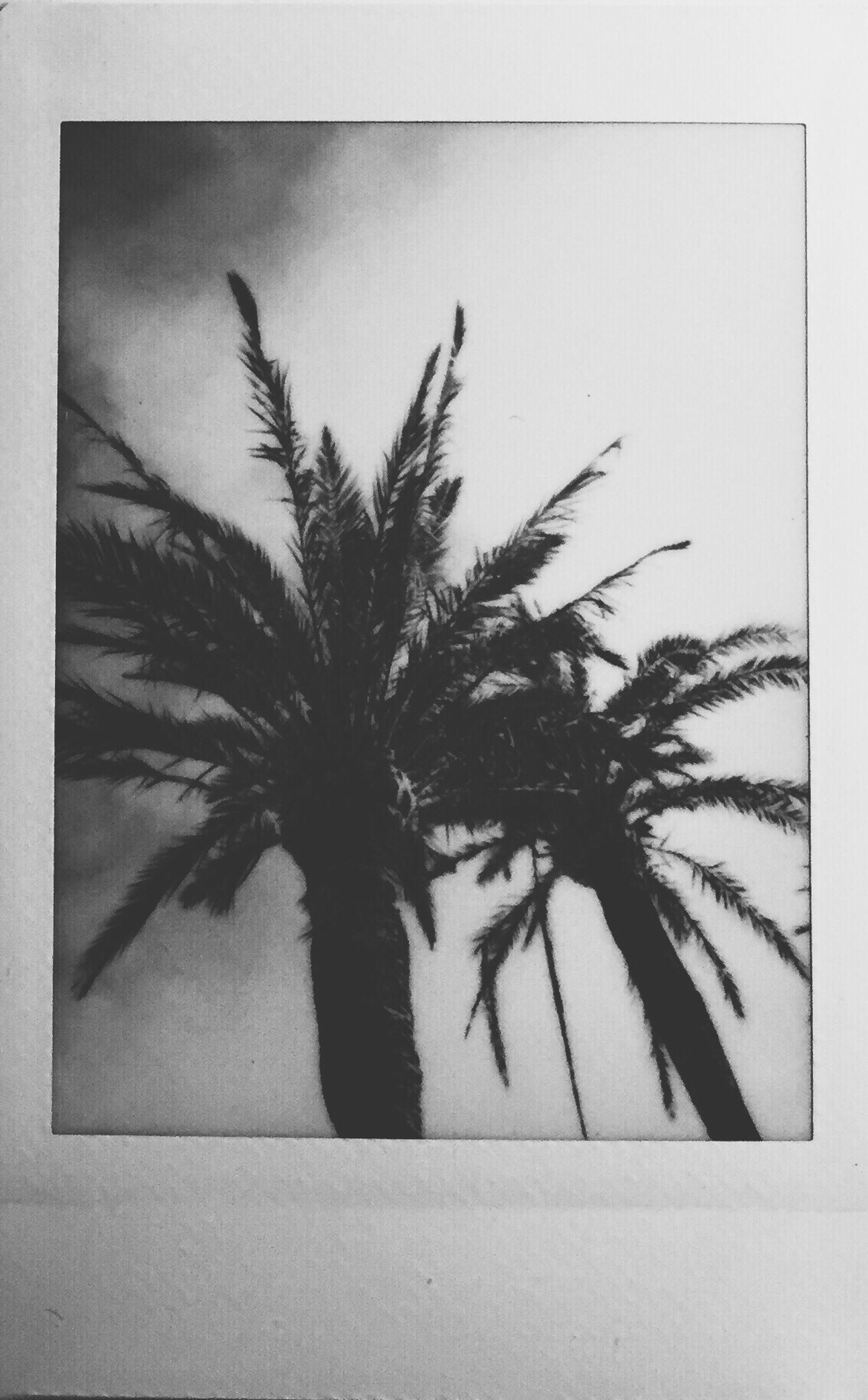 palm tree, transfer print, auto post production filter, tree, growth, low angle view, silhouette, nature, tranquility, sky, clear sky, no people, beauty in nature, branch, outdoors, day, tree trunk, plant, copy space, leaf