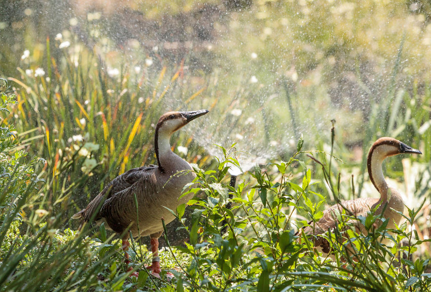 Swan goose called Anser cygnoides under a sprinkler near a pond in spring. Animal Themes Animals In The Wild Anser Cygnoides Avian Bill Bird Day Farm Feather  Goose Nature Nature Outdoors Plant Spray Spring Sprinkler Swan Goose Water
