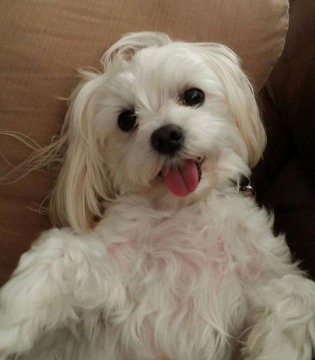 Bella Maltese Dog Animal Themes Animal Tongue Close-up Day Dog Domestic Animals Indoors  Looking At Camera Maltese Mammal No People One Animal Pets Portrait Sticking Out Tongue