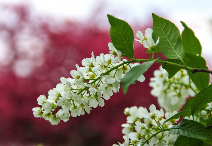 Bird-cherry tree (Prúnus pádus) Beauty In Nature Blooming Blossom Botany Close-up Day Flower Flower Head Focus On Foreground Fragility Freshness Green Color Growing Growth In Bloom Leaf Nature No People Outdoors Petal Plant Red And White Red And White Colour Selective Focus White Color