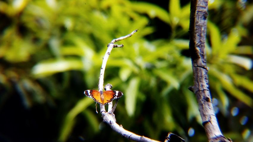One Animal Animals In The Wild Animal Wildlife Insect Animal Themes No People Outdoors Focus On Foreground Nature Close-up Day Full Length Branch Beauty In Nature Perching Butterfly - Insect Backgrounds India Plain Tiger Butterfly Danaus Chrysippus African Monarch Butterfly Shot With Mobile Clip Lens