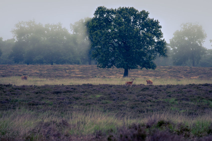 Deer Heath Scottish Cattle Beauty In Nature Calluna Day Deelerwoud Environment Field Fujifilm_xseries Grass Growth Land Landscape Mist Misty Morning Nature One Person Outdoors Plant Sky Tranquil Scene Tranquility Tree Xt20