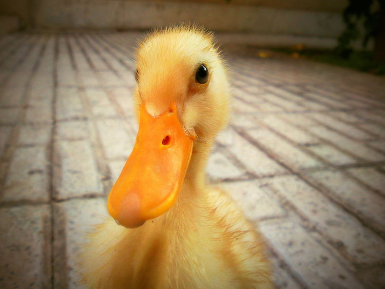 Animal Themes Bird Close-up Duck Duckface Ducky  No People One Animal Pets اردک جوجه جوجه اردک
