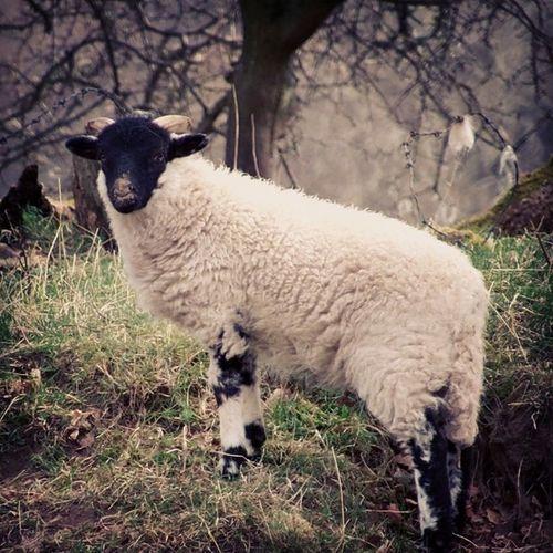 Sheep takes break at a small watering pool... Nature FarmAnimal Environment Sheep photography