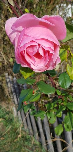 No People Outdoor Photography Flower Head Flower Leaf Pink Color Petal Close-up Plant Blooming In Bloom Single Rose Blossom Rose - Flower Single Flower Plant Life