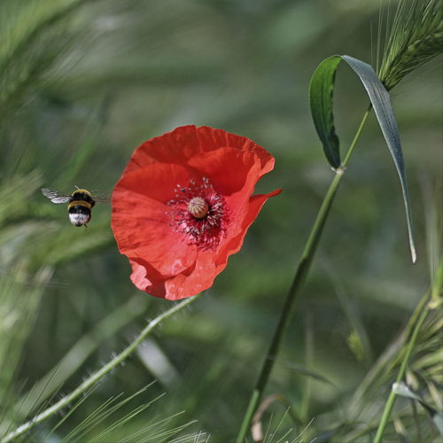 Animal Themes Beauty In Nature Flower Fragility Freshness Insetti Eyeem Insetto Nature Papaveri Petal Poppy Red