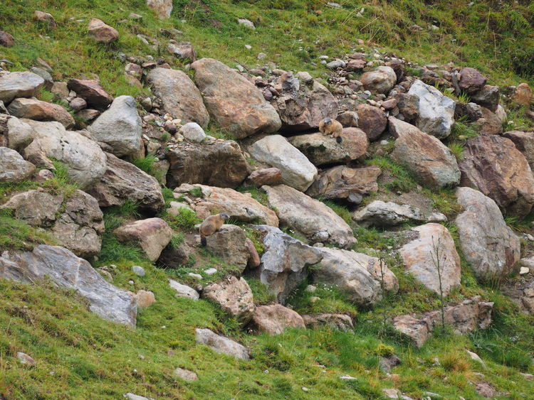 two Marmots crossing our track in the alps Wild Animal Marmots Kaunergrat Alps Rock - Object Grass