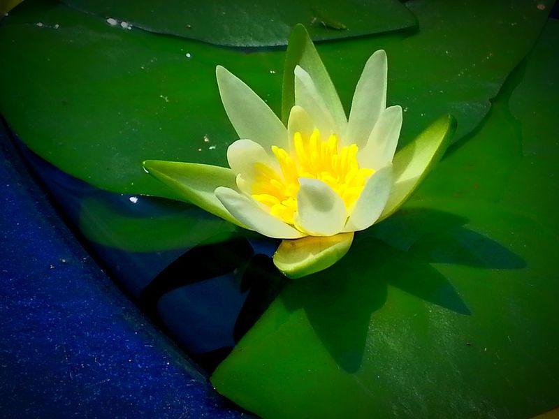 長谷寺 鎌倉 長谷観音 Hase Kamakura Japan 睡蓮 Flower スイレン Water Lily Floating On Water