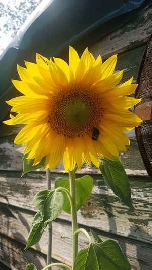 Her and Sunflower Bee Pollonation Pollenator Pollenate Save The Bees Flower Head Flower Yellow Sunflower Springtime Rural Scene City Petal Leaf Summer