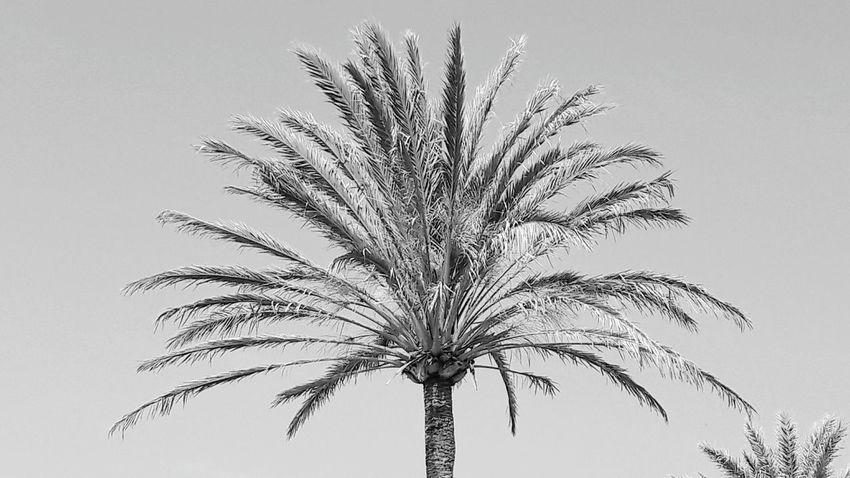 Palm Tree Tree Blue Agriculture No People Clear Sky Day Sky Outdoors Benalmádena, Malaga, Spain Arroyo De La Miel Blackandwhite Photography Black And White Collection  Blackandwhitephoto Clear Sky