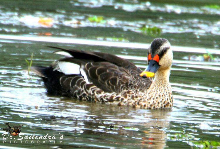 Spot bill duck