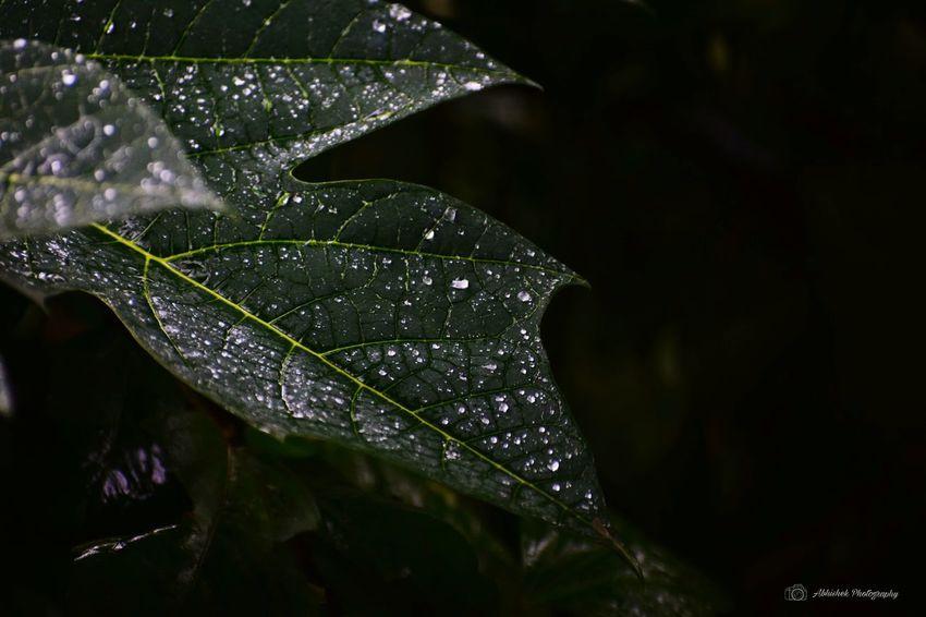 Rain Drops On Leaf 🍃 Dark Green Leaves Monsoon Nature Clicked On Nikon D3300 Close-up Leaf Vein Plant Life Leaves Rainfall Natural Pattern