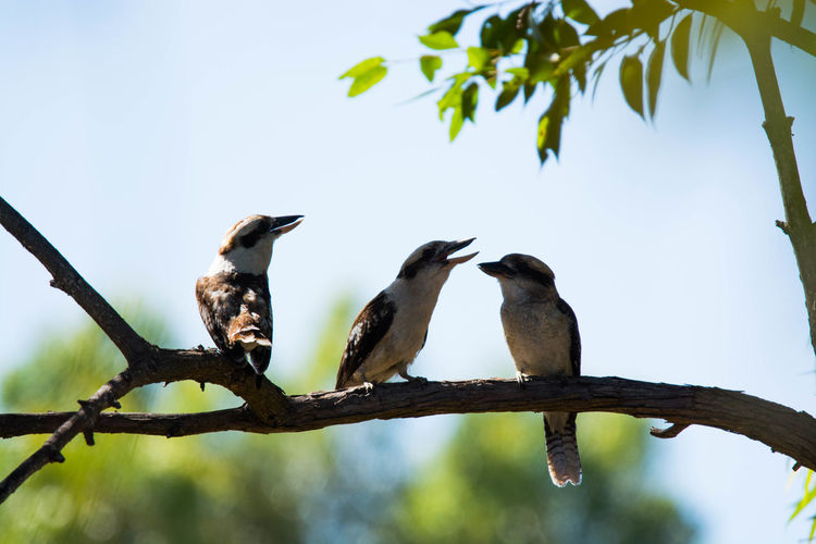 Gazisonit Kookaburra Animal Themes Animal Wildlife Animals In The Wild Beauty In Nature Bird Branch Clear Sky Close-up Day Focus On Foreground Low Angle View Nature No People Outdoors Perching Sky Tree