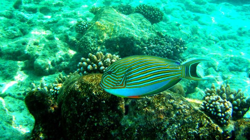 Coral Colorful Fish Multi Colored Color Contrast Snorkeling Photo Beauty In Nature Fish Blue Water Indian Ocean Maldives Exotic Beauty  Exotic Fish Clear Water Tropical Fish Best Of EyeEm Close-up Tranquility Colorful Stripes Striped Fish Yellow Fish Blue Lined Surgeon Fish