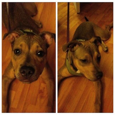Dallas came home last night after my mini vacation at Warpedtour . She was so excited to see her momma Puppy Puppiesofinstagram Pitbulls sharpei pitbullmix pets happy rescuedog rescue adopt love NoBSL nobsl stopbsl