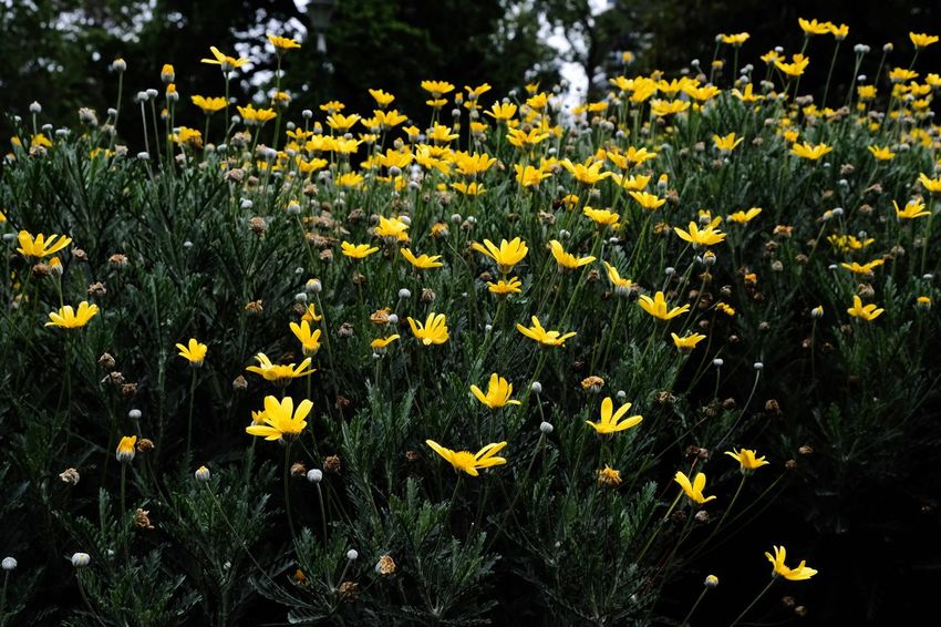 Flower Yellow Growth Nature Petal Daffodil Freshness Plant Blooming Field Beauty In Nature Summer Vegetation Flora Fragility No People Spring Outdoors Day Flower Head