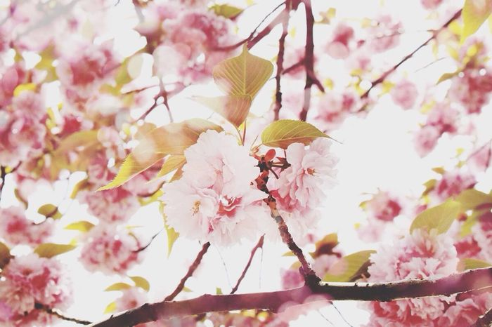 Cherry blossom Cherry Blossom Flowers Pink Nature