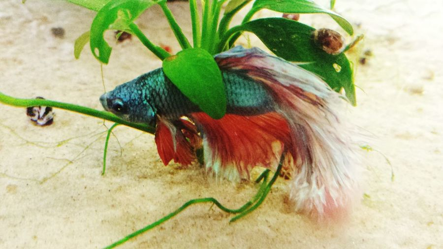 My halfmoon siamese fighting fish. Fish Fighting Fish Siamese Fighting Fish Fish Tank Tank Life Pet Aquarium Life Nature Plant One Animal No People Growth Domestic Animals Close-up