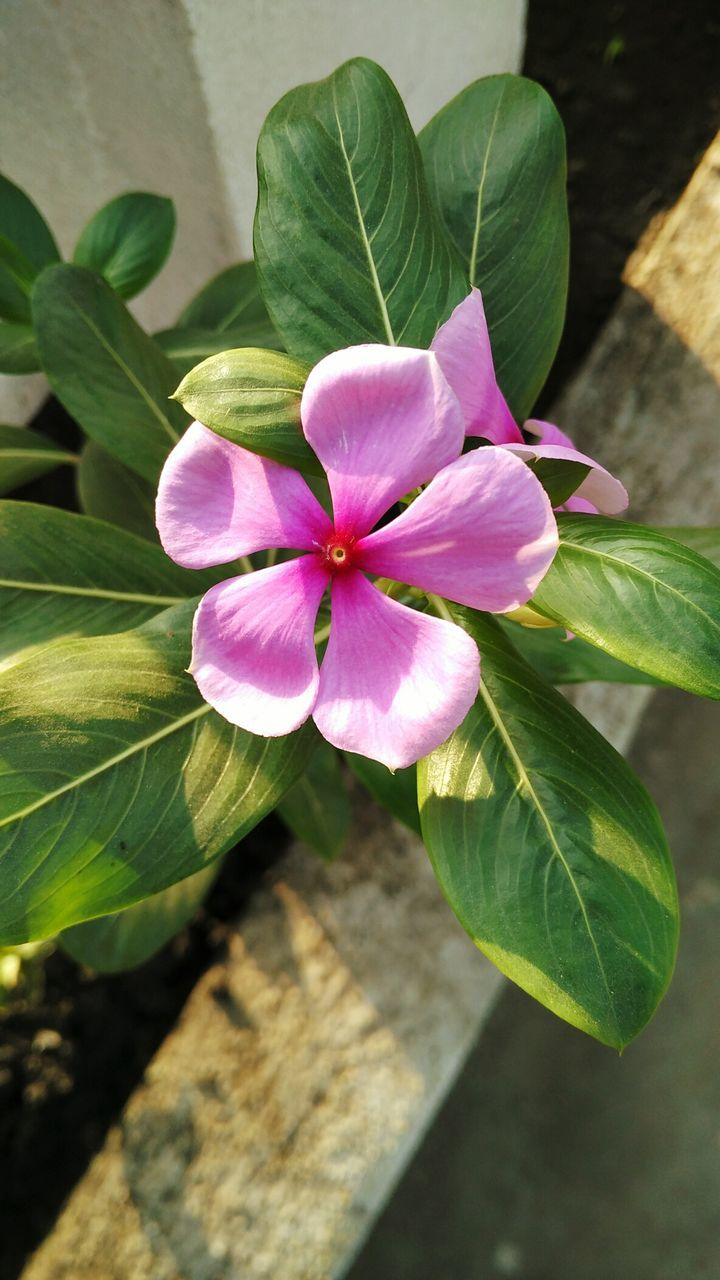 petal, leaf, flower, growth, fragility, pink color, freshness, beauty in nature, periwinkle, nature, day, flower head, close-up, outdoors, plant, no people, blooming