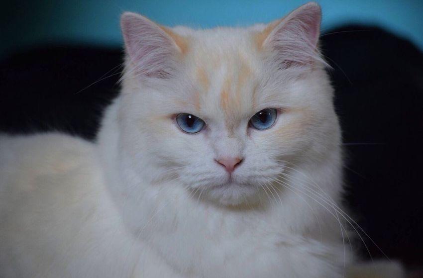 Cat Blue Wave Blue Eyes White White Cat Showcase April Animals