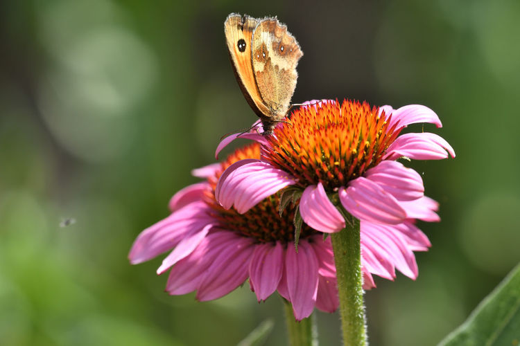 Close up of a butterfly on a pink echinacea flower
