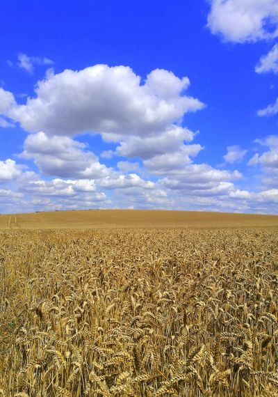 Crop fields on sunny day with blue sky and clouds