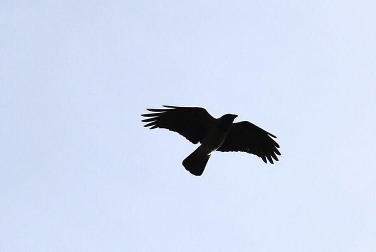 Flying Bird Spread Wings One Animal No People Animal Themes Raven - Bird Day Outdoors Nikonphotography Nikond5300 Hobbyphotography Hobbyfotograf