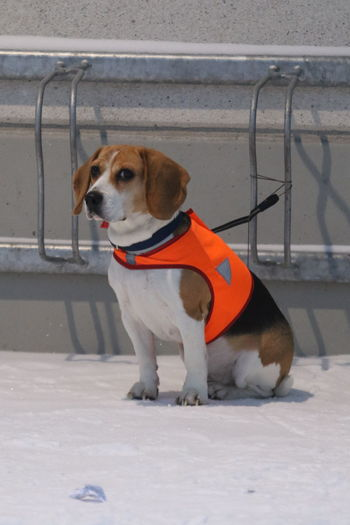 Beagle Cute Day Dog Domestic Animals Fidelity  Loyalty One Animal Patience Pets Sitting Snow Waiting Warning Jacket Watch Dog