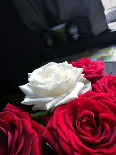 Flower Red Rose - Flower Petal Flower Head No People Celebration Fragility Freshness Nature Close-up Indoors  Day