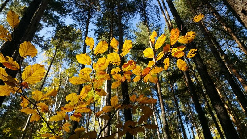 Yellow Leaves in the Autumn Forest. Leaves Trees Forest Yellow Green Outdoors Plant Season  Autumn Atumn Colors Nature Branches Pastel Sky Coniferous Deciduous Day Sunlight