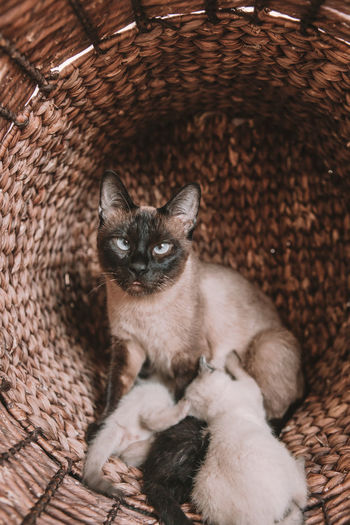 High angle portrait of a cat in basket