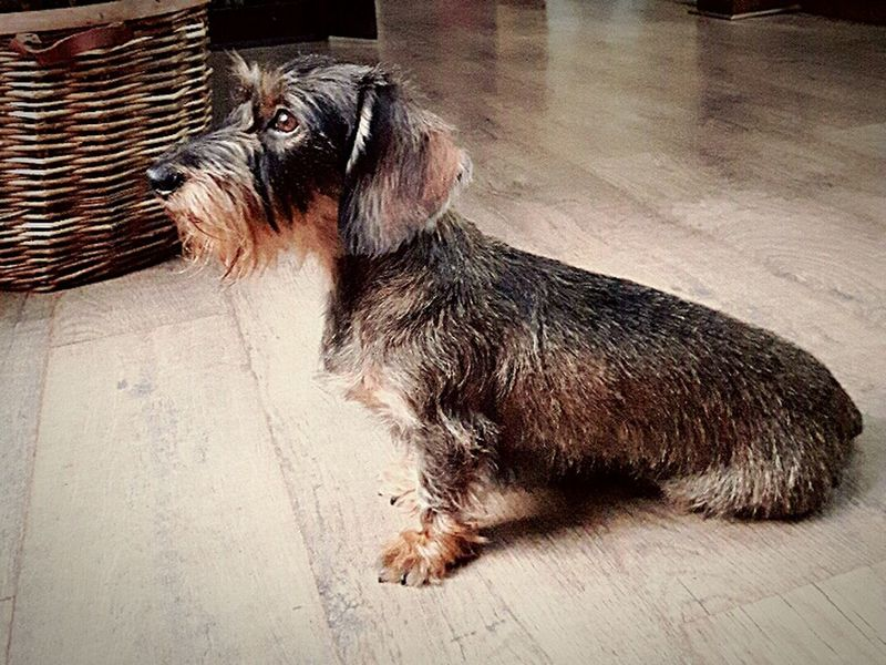 Jackie. Dachshunds Dog Dachshundsofinstagram Dachshundlovers