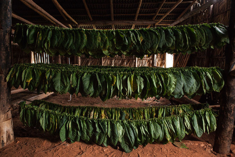 Tobacco leaves drying in hut