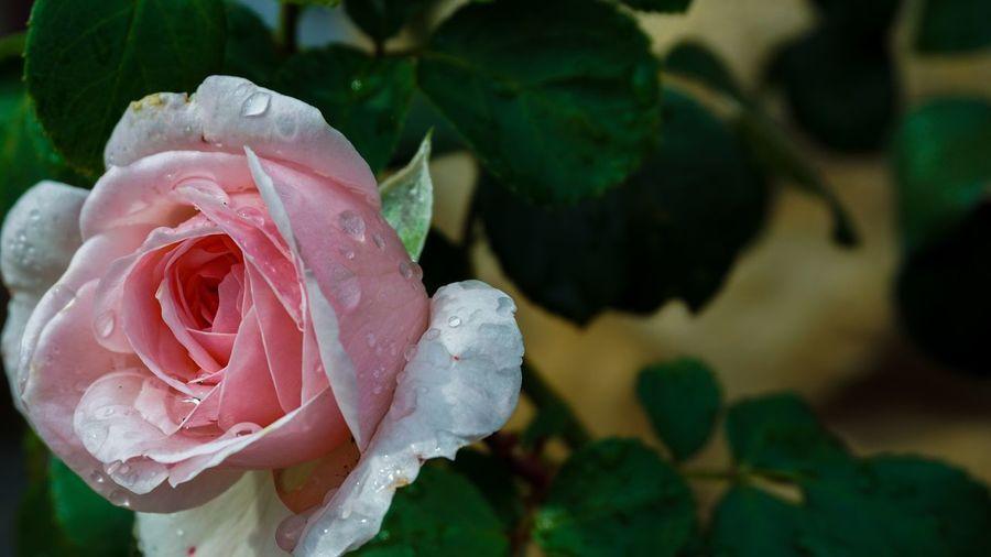 Flower Flowering Plant Plant Beauty In Nature Rosé Petal Vulnerability  Fragility Growth Inflorescence Flower Head Rose - Flower Pink Color Freshness Close-up Plant Part Nature Drop Leaf Wet