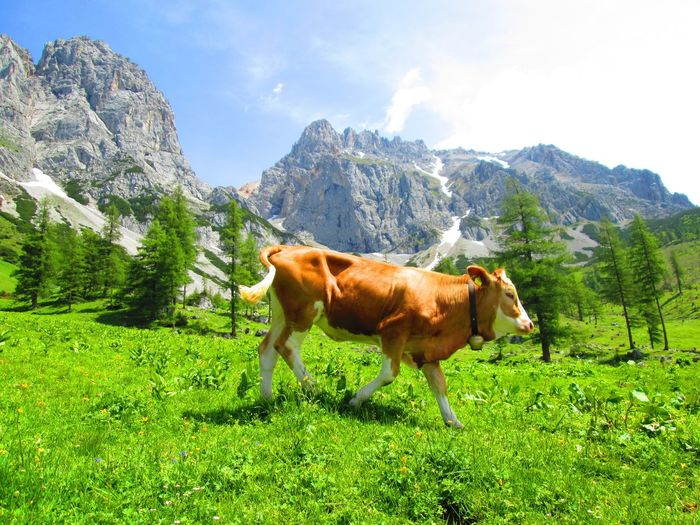 Taking a walk Österreich Ramsau  Schladming Dachstein Austria ❤ Travel Destinations IPhoneography EyeEmNewHere No Filter Mammal Plant Domestic Animals Animal Themes Domestic Animal Pets Livestock Vertebrate Grass Land Cattle Sky Growth