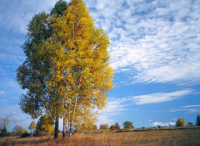 Autumn Autumn Birch Birch Tree Change Landscape Nature No People Outdoors Tree Yellow