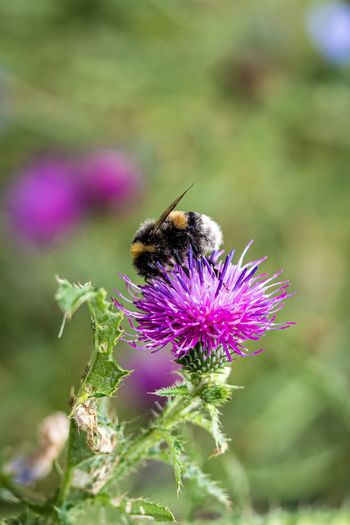 Flower Flowering Plant Animal Animal Themes Plant One Animal Beauty In Nature Insect Invertebrate Fragility Animals In The Wild Vulnerability  Purple Animal Wildlife Close-up Growth Flower Head Bee Freshness Petal