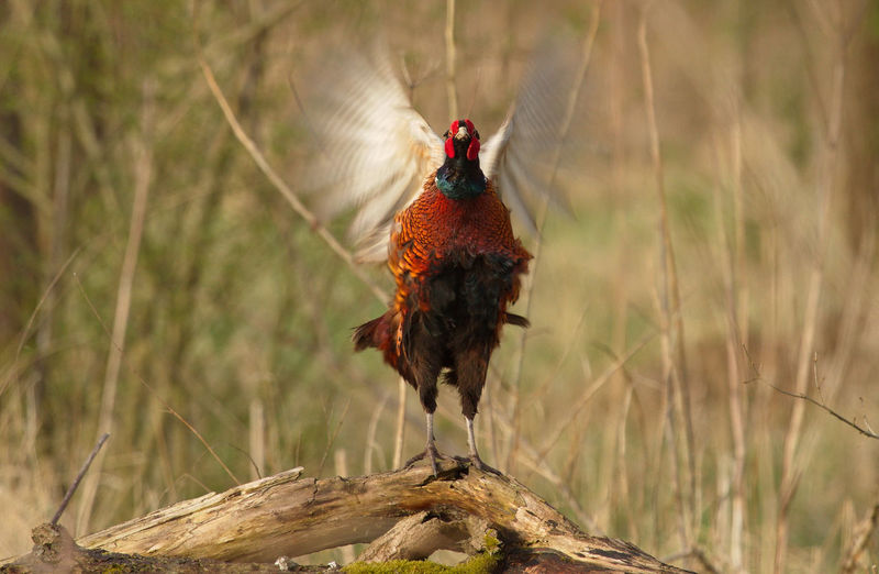 Ring-necked pheasant with spread wings on wood