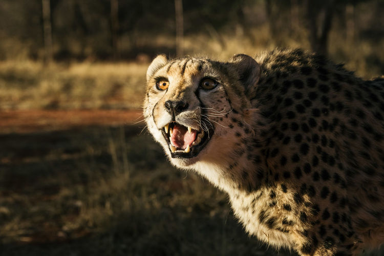 Namibia Africa Animal Animal Themes One Animal Mammal Animal Wildlife Animals In The Wild Mouth Open Big Cat Mouth Feline Anger Focus On Foreground Aggression  Cat No People Day Snarling Negative Emotion Vertebrate Carnivora Roaring Animal Teeth Undomesticated Cat Whisker