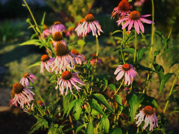 Close-Up Of Purple Coneflower Blooming Outdoors