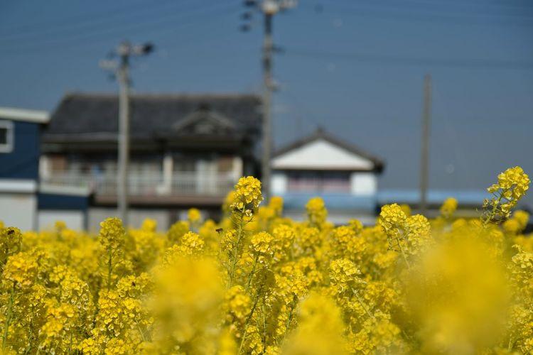 RapeFlowers Mustard Fields Yellow Nature Spring