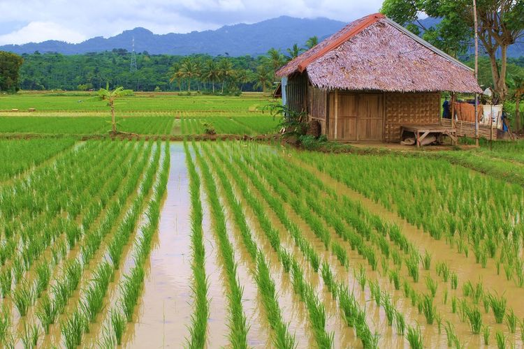 Agriculture Rural Scene Farm Field Crop  Green Color Nature House Growth Landscape Architecture Scenics Cloud - Sky No People Sky Outdoors Day My Year My View