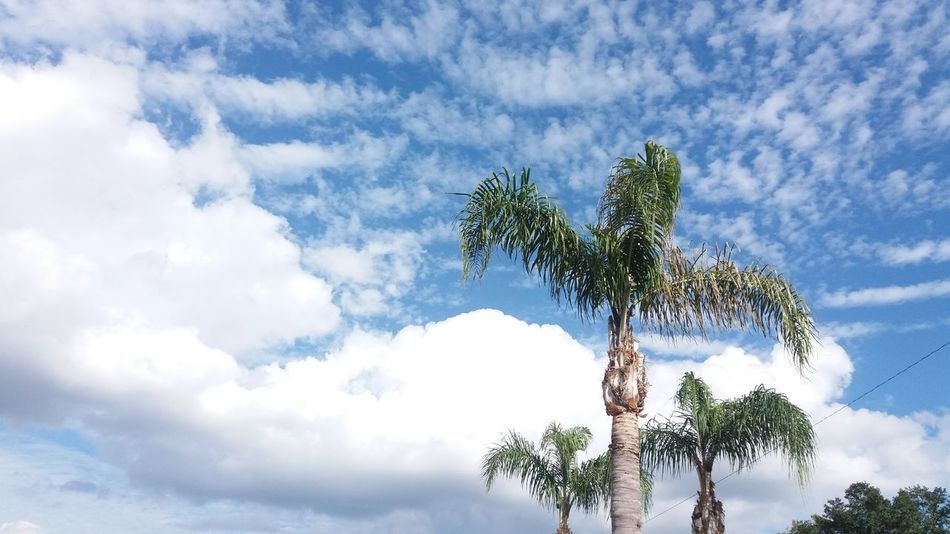 Palm Trees ❤❤ Nature Photography Eye4photography  CarmenVazquezPhotography Ocala Florida MyPics Naturephotography Beautiful Nature Beauty In Nature Beautiful View ❤ Clouds In The Sky Skies And Clouds Sky Cloud - Sky Goodmorning Sunshine Goodmorning EyeEm !