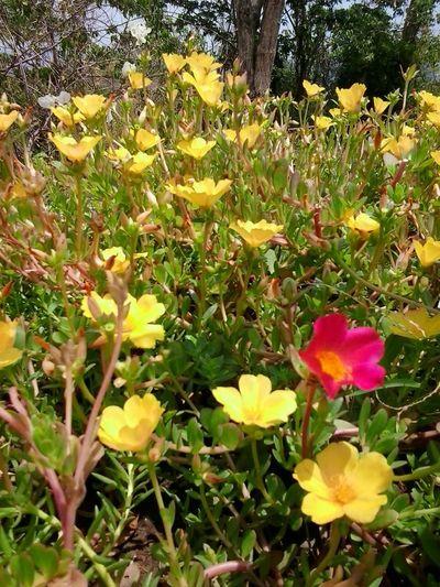 Ten o'clock blooms. Sunplant Mossrose EyeEmNewHere EyeEm Best Shots Eyeem Philippines Outdoor Beauty Outdoors Flower Head Flower Petal Field Close-up Blooming Grass Plant Plant Life Blossom Botany Pollen In Bloom