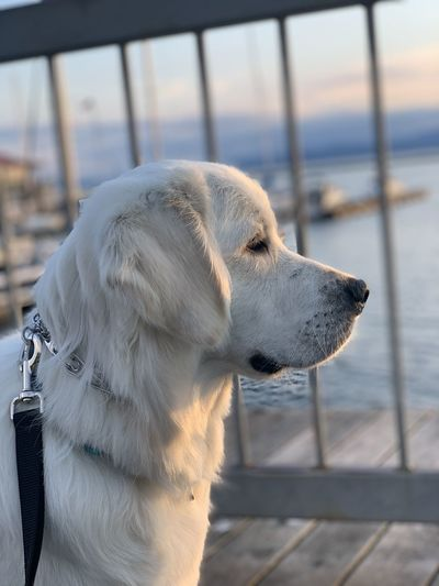 A white dog sits on a pier by the lake looking to the right. he is wearing a prong collar and leash.