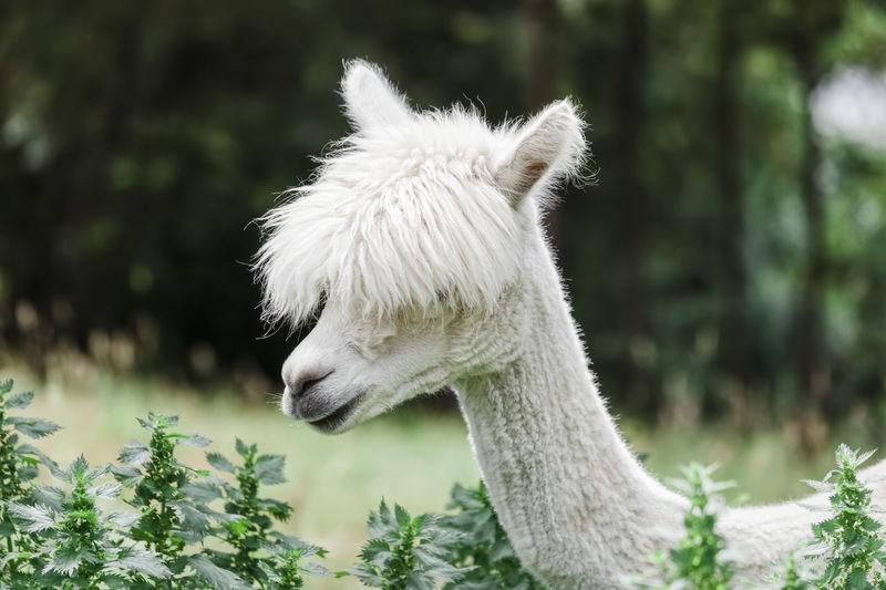 Close-up of white alpaca