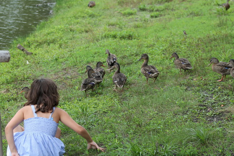 Rear view of girl with ducklings on grass at lakeshore