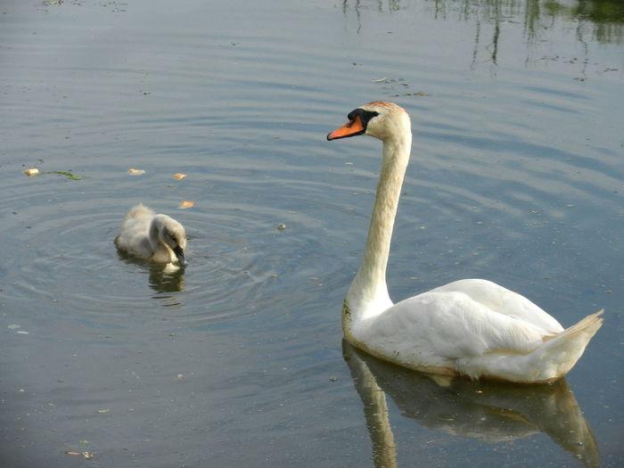 Animal Bird Mallard Duck Nature Outdoors Water Water Bird Wildlife